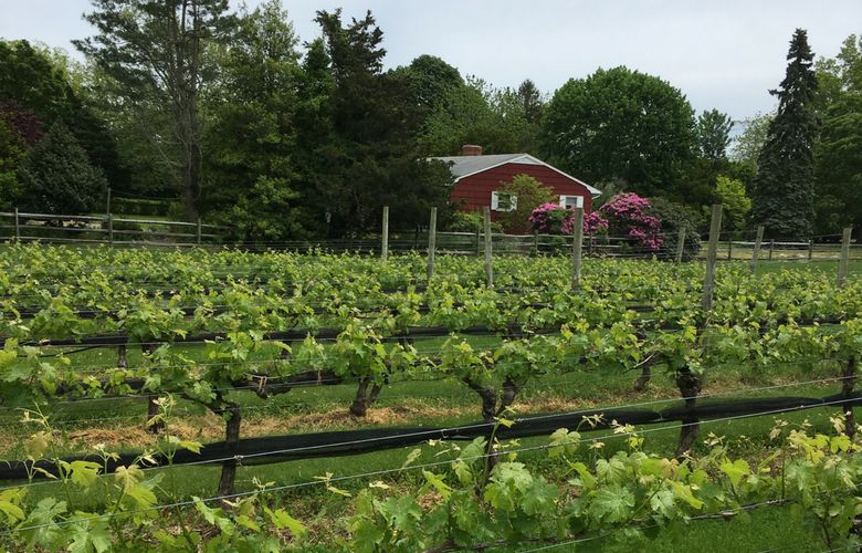 vines from north fork wineries, Long Island
